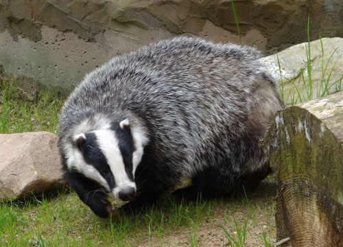 Badger Surveys from Leigh Ecology